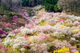 2014-japanese-cherry-blossom-blooming-sakura-3